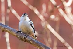 A53F9683-Edit White-breasted Nuthatch (~ Michaela Sagatova ~) Tags: bird nature fauna dundas whitebreastednuthatch sittacarolinensis birdphotography dvca michaelasagatova