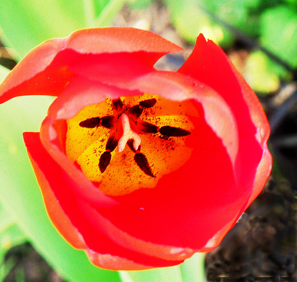 aa The Face of the Tulip. Regents Park 10 4 11. IMG 2953