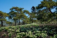 Field of Daffodils (cotarr) Tags: olympus daffodil geotag carillon ep2 chicagobotanicgarden cameraraw 17mm poolphoto cs5 eveningisland topazdenoise topazdetail cbgscene iphonetracklogger