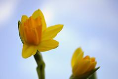 Narcisi (Pampara  back!!) Tags: flowers sky plants plant flower slr nature up yellow nikon close natura giallo cielo daffodil fiori fiore piante pianta narcisi d5000