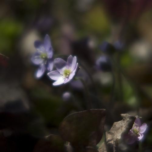 Emerging Spring - Hepatica