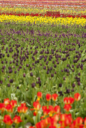 wooden shoe tulip farm 52