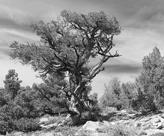 Wind Swept (bertdennisonphotography) Tags: trees sky blackandwhite bw mountains nature weather clouds landscape windswept bristlecone easternsierras bristleconepine whitemountians inyocounty
