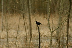 Red Winged Black Bird. (Gary Crawford) Tags: new red ontario canada black bird nature winged blackbird marshlands