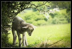 Spring Lamb (RattyBoots) Tags: cute canon spring seasons competition dirty 7d lamb vignette exmoor reprocessed tamron18270 boscc silcombefarm