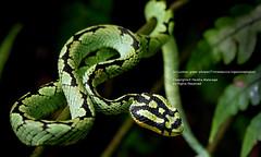 Sri Lankan green pitviper (Trimeresurus trigonocephalus) (Harsha Matarage) Tags: pictures nature rainforest asia photos shots pics wildlife snaps srilanka ceylon lk endemic kalawana trimeresurustrigonocephalus harshadesilva kudawa harshamatarage sinharajaya srilankangreenpitviper