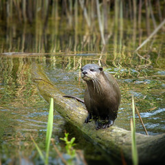 Otter spotted in the wetlands waters - B℮n