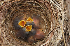 """BABY BIRDS"" [EXPLORE!] (""You Got Framed"" photography by Mindy Atkins) Tags: food baby bird nature birds digital canon outdoors rebel furry babies nest fuzzy birdhouse explore canonrebel hungry feed bluebird openmouth birdnest audubonsociety digitalphotography beaks feedme babybirds birddinner waitingforfood feedus itsawonderfulworld t2i babybluebirds waitingformother yellowbeaks odc2 birdlunch mygearandme ourdailychallenge mygearandmepremium mygearandmebronze mygearandmesilver canonrebelt2i artistoftheyearlevel3 artistoftheyearlevel4 babybeaks babyopenbeaks babiesbeaks babybirdsbymindyatkins babybirdsbyyougotframed pictureofbabybluebirds photoofbabybluebirds babybirdspicture babybirdsphoto peregrino27life artistoftheyearlevel5 artistoftheyearlevel6"