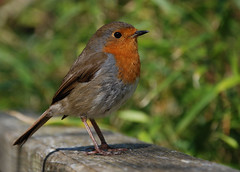 Robin at Heligan (Ennor) Tags: uk bird robin spring cornwall unitedkingdom april weeklysurvivor heligan kernow lostgardensofheligan 2011 heliganslostgardens d20989