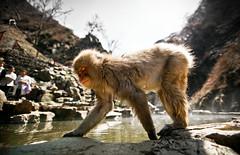 Jigokudani Monkey Park (Nagano - Japan)