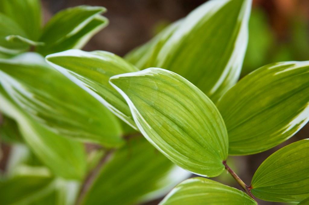 polygonatum variegatum 2  218
