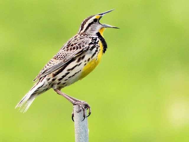 Eastern Meadowlark 20110505