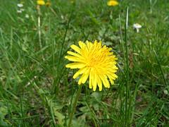 Taraxacum (onnola) Tags: flower grass yellow garden spring meadow wiese dandelion gelb gras blte garten rasen frhling taraxacum lwenzahn pusteblume