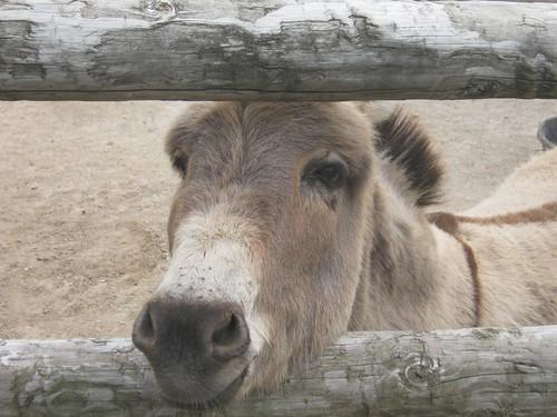 donkeyface