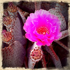 Happy Mothers Day from Arizona! (kevin dooley) Tags: pink arizona cactus favorite flower color mobile wow happy photography photo interesting fantastic colorful flickr day phone desert image very good awesome picture free vivid award superior az pic super best mothers more most photograph creativecommons winner excellent bloom much incredible better android mothersday exciting winning blooming hotpink stockphotography desertflower phenomenal cactusflower happymothersday bloomingflower retrocamera freeforuse mytouch littleorangebox