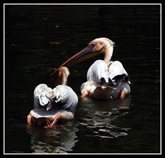Mentor (D.R.A.S) Tags: reflection pelicans nature water birds canon beak feathers paddle twin lowkey mentor contrasty beautifulshot heartsaward diamondstars olétusfotos