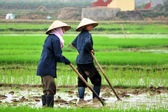 Rice Paddy Workers 6 (ChristopherMDawson) Tags: people woman women asia vietnamese village rice farming m cm vietnam worker ha agriculture dawson ricepaddy peasant indochina 2011 village christopher southeast north northern asia ha dawson cmdawson vietnam 2011 tho