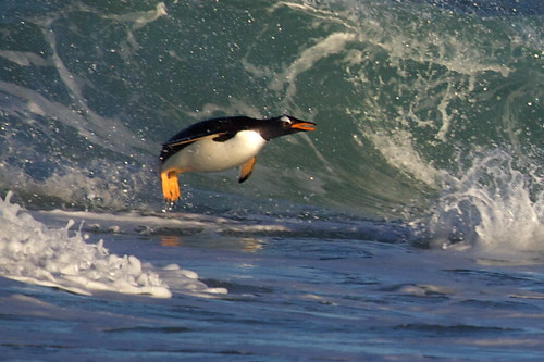 Gentoo Penguin in a wave by Derek Pettersson