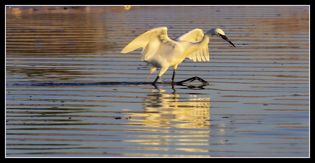 An Egret and A Crab