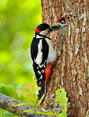 MALE GREAT SPOTTED WOODPECKER FEEDING IT'S YOUNG.#6 (spw6156) Tags: male its woodpecker feeding steve great  bbc spotted waterhouse bbcredbutton goldwildlife lightcopyright isopoor young800 seenonautumnwatchunsprungspringwatch