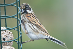 Reed Bunting (Emberiza schoeniclus) Male on a Fatball Bird Feeder (Steve Greaves) Tags: food brown male green bird nature garden bokeh wildlife fat feeder cage aves naturalhistory blackhead perch hanging perched avian manfrotto songbird monopod whitecollar fatball reedbunting 2xteleconverter passerine commonreedbunting emberizaschoeniclus 680b nikond300 nikonafsii400mmf28ifedlens