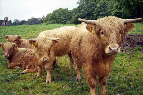 highland cattle by pho-Tony