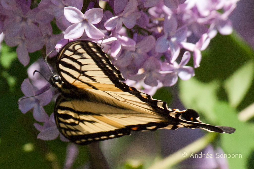 Eastern Tiger Swallowtail (Papilio glaucus)-34.jpg