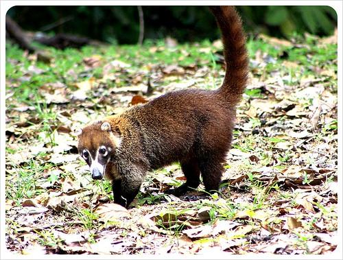 Anteater at Parque Metropolitano Panama City