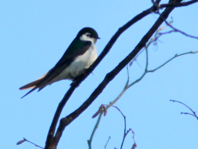 Violet-green Swallow 20110618