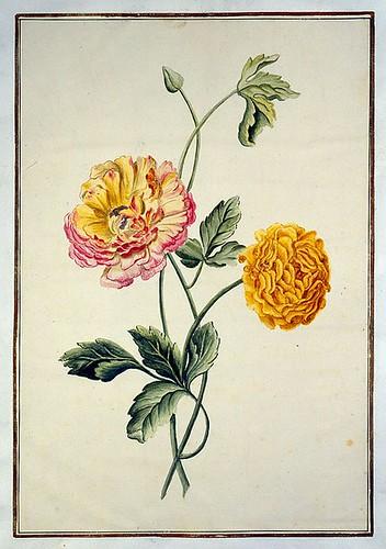 019-tulipan 19-Karlsruher Tulpenbuch - Cod. KS Nische C 13- Badische LandesBibliotheK