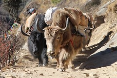 (EliaZane) Tags: everestbasecamptrek everest yak yaks tibetan sherpa nationalpark sagarmatha himalayas nepal