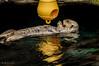 Lontra - Oceanario Lisbona (antoniosimula) Tags: oceanario lisbon lisbona lisboa portogallo portugal area expo fish flora fauna nikon d3200 35mm 70300 tamaron ocean species pacific atlantic indian