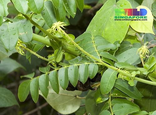 Bonduc (Caesalpinia bonduc) with developing flowers?