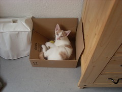 Cleese 2008 4 (Schmasipopasi) Tags: brown white cute cat european sweet box shorthair katze braun 2008 kater karton cleese kiste kurzhaar weis esh ss ekh europisch