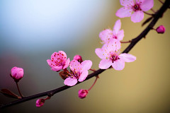 Lay Me Down (Celine Chamberlin) Tags: pink flower tree nature oregon cherry spring branch blossom stayton colorpinkpurple