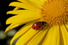Be faithful in small things because it is in them that your strength lies.  (lisaluvz) Tags: sun flower macro nature yellow bug garden insect bright quote ladybird potofgold lisaluvz