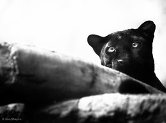 Leopard giving me the time of day (alan shapiro photography) Tags: nature animal cat wildlife exploring leopard wandering bigcats roaming leopardportrait ashapiro515 melenisticleopard alanshapirophotography ©2011alanshapiro leopardinbw leopardinmonochrome