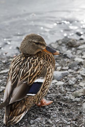 Norwegian Duck