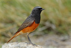 Black head redstart   -  () Tags: black western phoenicurus redstart ochruros