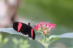 Nectar Points (@richlewis) Tags: pink red england white black flower macro london nature butterfly insect leaf regentspark londonzoo tropicalbutterflyhouse canonef70200mmf4lisusm canonef14xiiextender canoneos7d