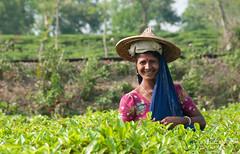 Friendly Tea Picker - Srimongal, Bangladesh (uncorneredmarket) Tags: people workers women bangladesh aes srimongal srimangal teapicker teapicking teaworkers sreemongal finlaytea
