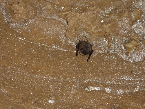 Little brown bat with WNS, Trigg Co., KY