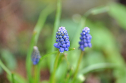 more grape hyacinth