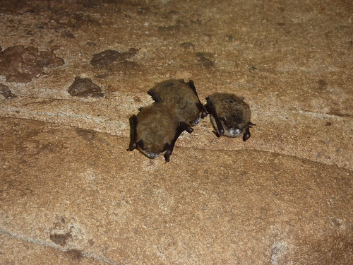 Little brown bats with WNS, Trigg Co., KY
