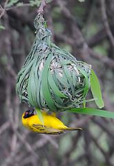 Black-headed Weaver, Lake Manyara National Park