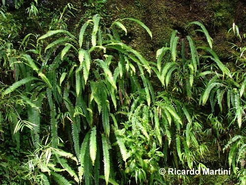 Hábito del Helecho de las Cascadas (<i>Blechnum arcuatum</i>) creciendo en el Parque Nacional Alerce Andino, Región de Los Lagos.