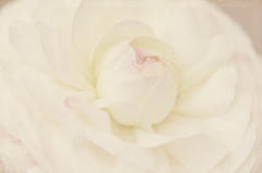 White Ranunculus (Julie Rideout) Tags: pink white flower macro ranunculus textured florabellaactions julierideout kimklassentextures nikond70000