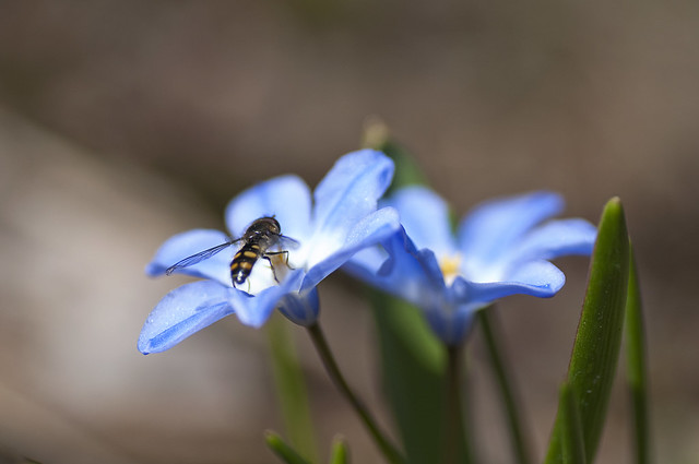 Spring happening: Glory of the snow and Hoverfly :)