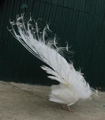 Mr. Peacock