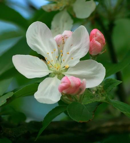 Crabapple Tree blossom